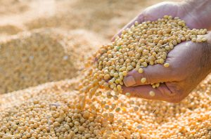 a woman's hands scooping up yellow grains