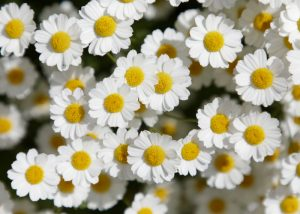 white feverfew flowers