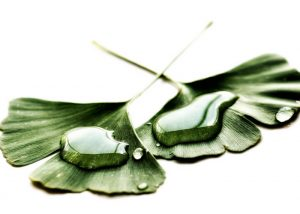 water droplets on a couple of ginkgo biloba leaves