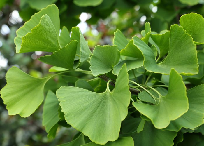 ginkgo biloba leaves on the tree