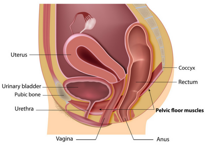 anatomical diagram of female pelvic floor with labels