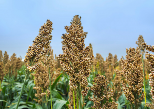 a field full of sorghum plants