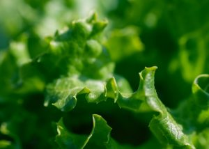 Close up of a leaf of green lettuce