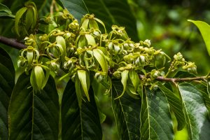 Fresh ylang ylang in the wild