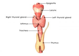 A diagram of a thyroid