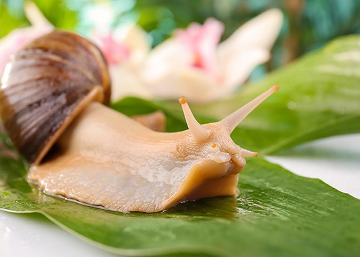 close up of snail and snail mucin on green leaf