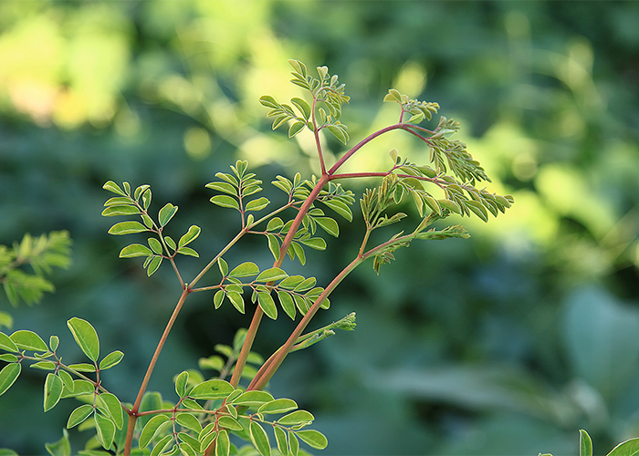 Moringa plant growing in the wild