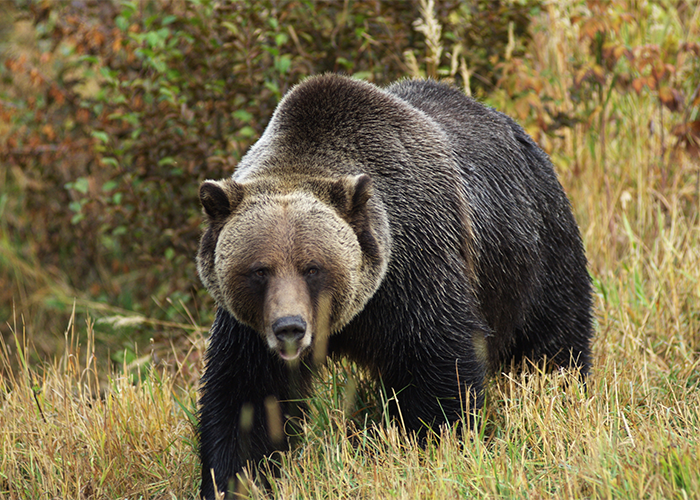 A brown bear, a common spirit animal.