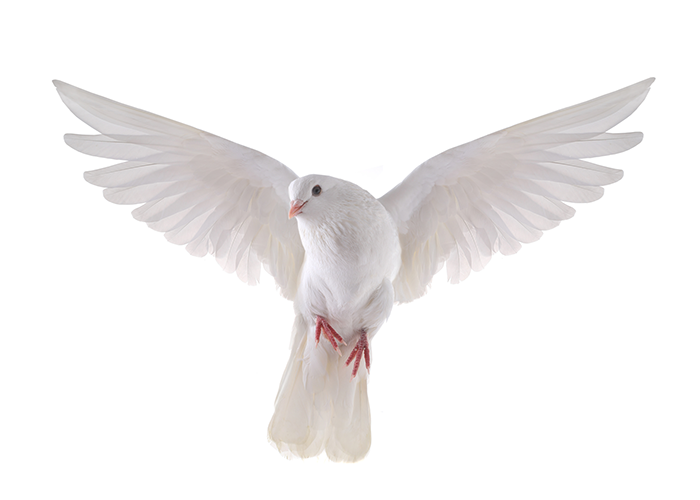 A white dove, a common spirit animal.