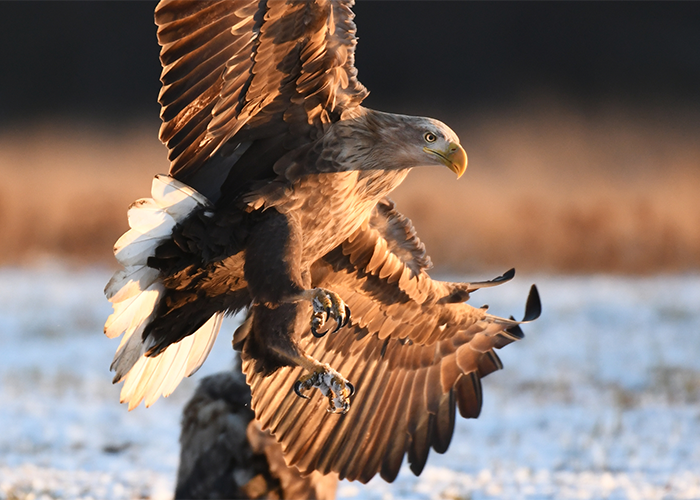 An eagle about to land.