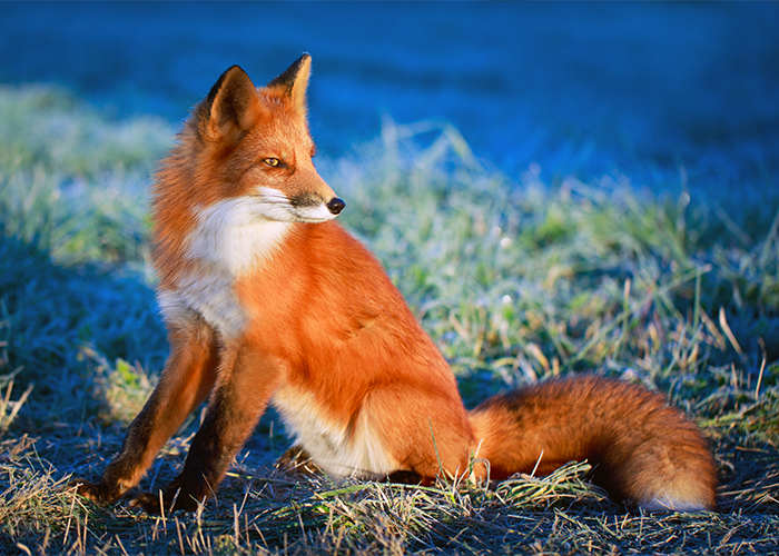 A fox sitting on a patch of grass, staring at something in the distance.