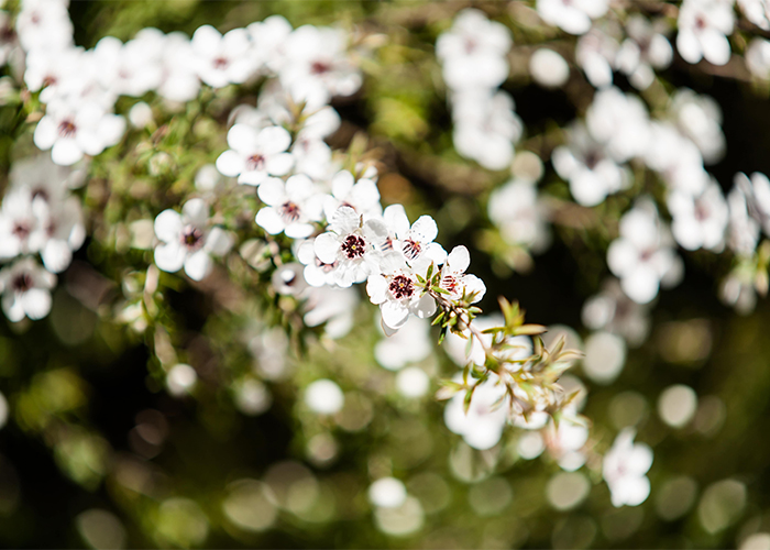 Manuka flowers growing in the wild