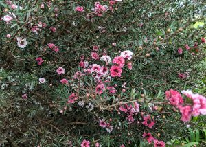 Pink manuka flowers growing in the wild