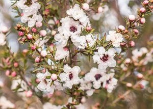 White manuka flowers in full bloom
