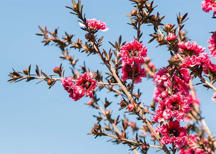 Pink manuka flowers in full bloom against a clear blue sky