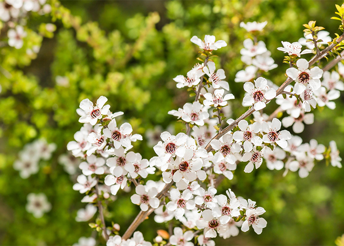 Wild white manuka flowers in full bloom with the background blurred
