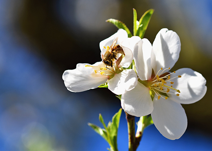manuka-blooming-tree-in-spring-with-a-flying-bee