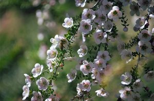 uses-for-manuka-essential-oil-featured-image
