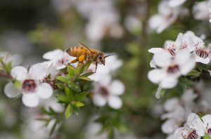 what-is-manuka-essential-oil-good-for-featured-image