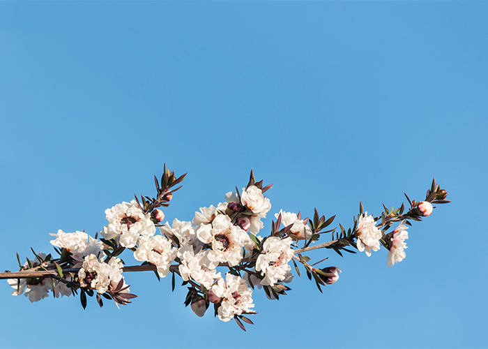 white-manuka-tree-flowers-in-bloom