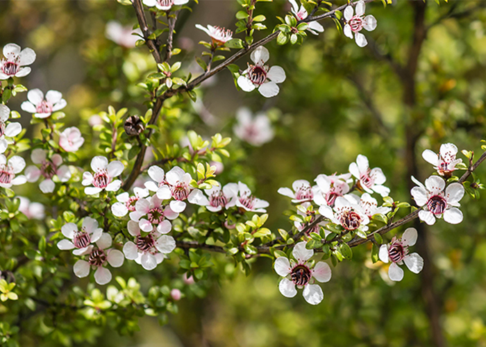 white-manuka-tree-flowers-in-blooming